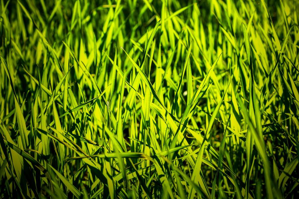 Golden Light Grass