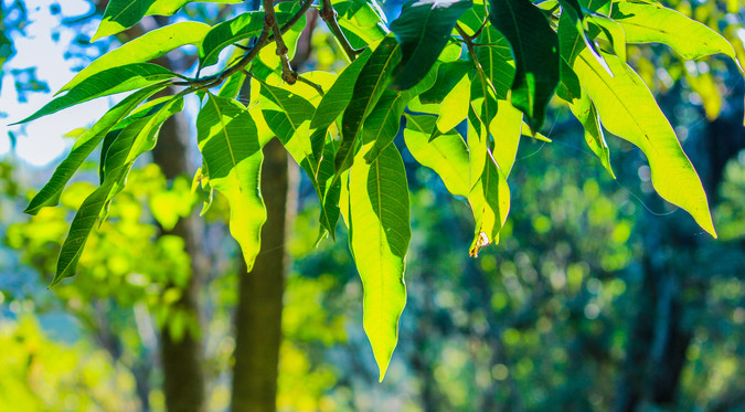 Translucent leaves with bokeh