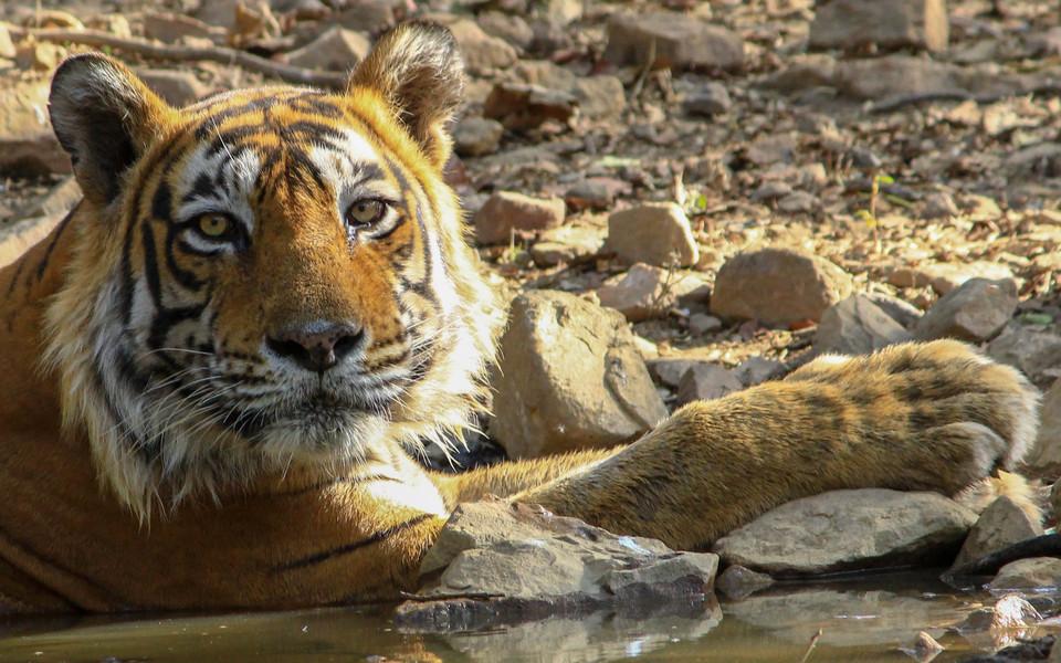 Tiger Kumbha