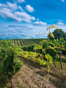 un paysage du vignoble au mois de juillet