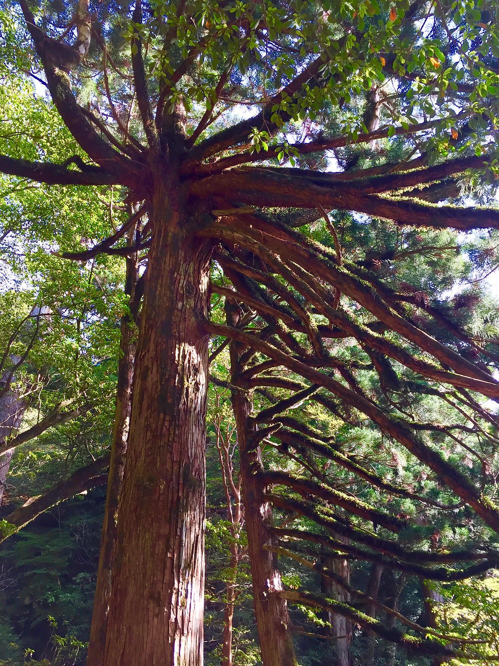 The Tarantula Tree that I slept under.