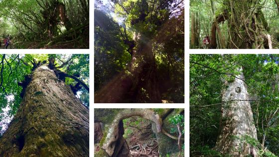 Trees of Yakushima