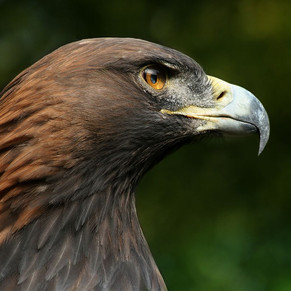 BIRDS OF PREY CENTRE - KIELDER