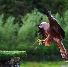 kielder birds of prey