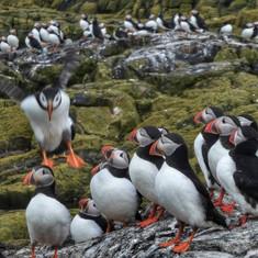 farne islands puffin