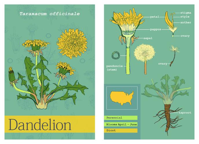 Botanical Card- Dandelion
