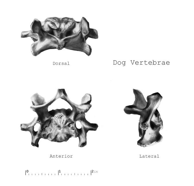 Measured bone drawing