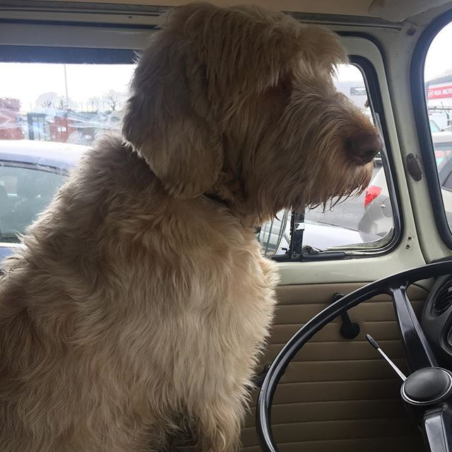 This guy knows a good van when he sees one #vwbullibarn #vw #vwbus #vwcampervan #vwt2 #spinone #maxw