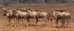 Thuli Wildebeest