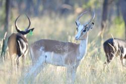 White Flank Impala