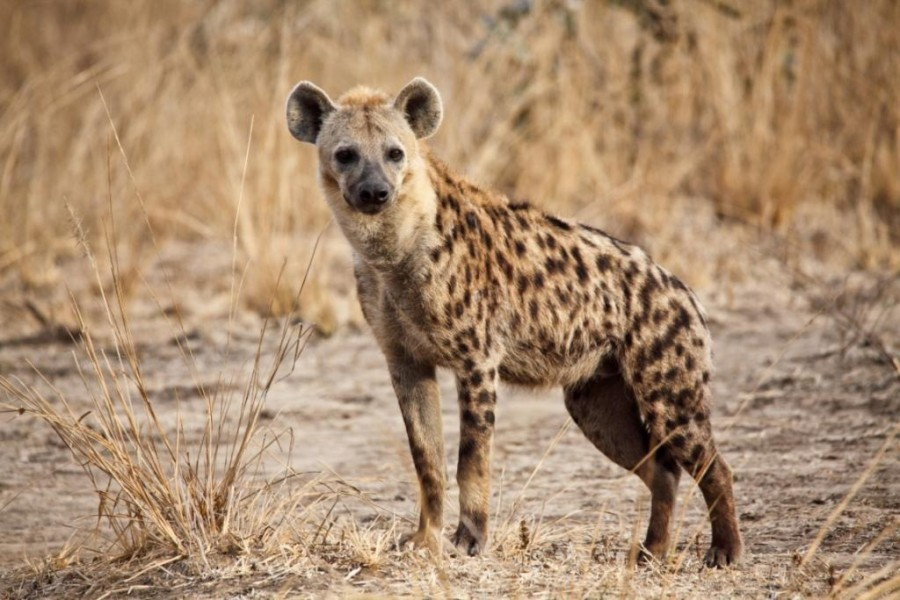 spotted_hyena