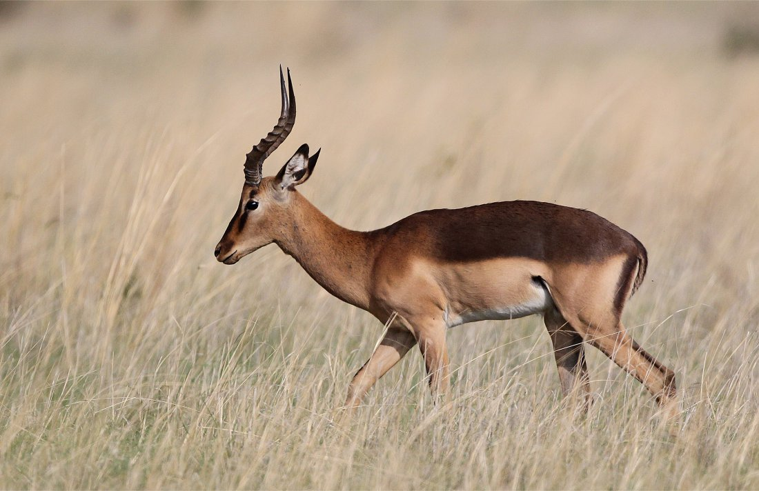 Saddleback Impala