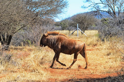 Golden Wildebeest Bull