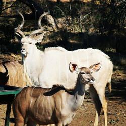 White Kudu