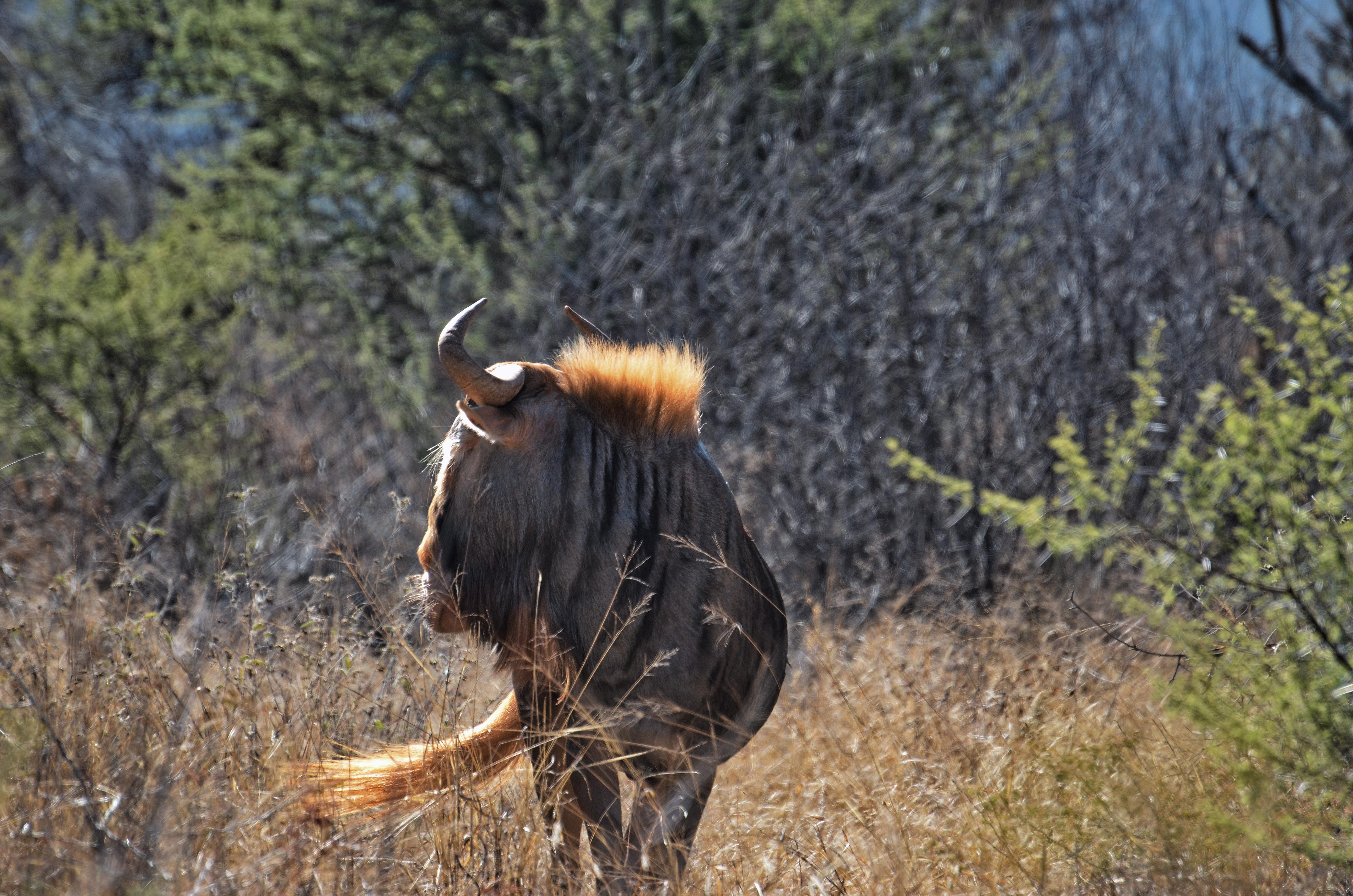 King Wildebeest