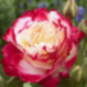 Rose Double_Delight.jpg