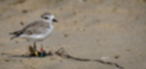 Snowy Plover-Christmas_Tree-Banded FB-DS