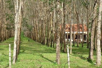 rubber-tree-plantation.jpg