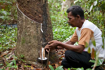 man-tapping-latex-tree.jpg