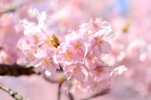 愛犬とキャンピングカーで桜を見に行く