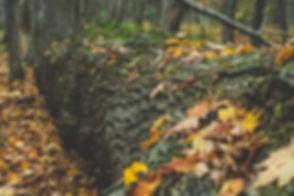 fall-leaves-in-fallen-tree.jpg