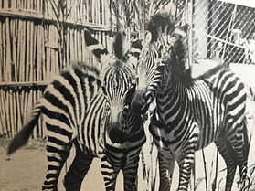 Zimmy and Zebby the zebras.jpg