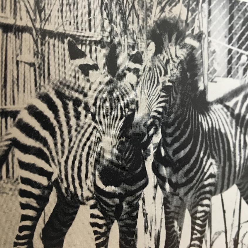Zimmy and Zebby the zebras