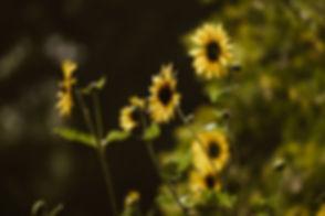 yellow-daisies-sunning.jpg