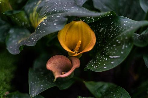 gold-pink-calla-lilies.jpg