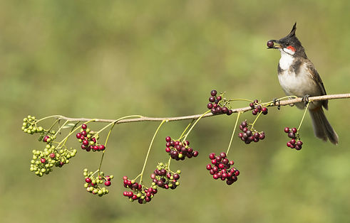 bulbul-crested-bird-eating-berries.jpg