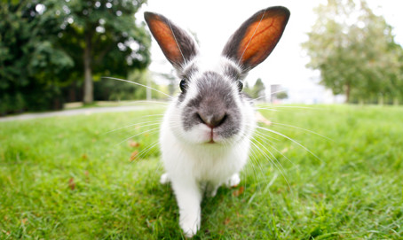 Myiasis bij konijnen