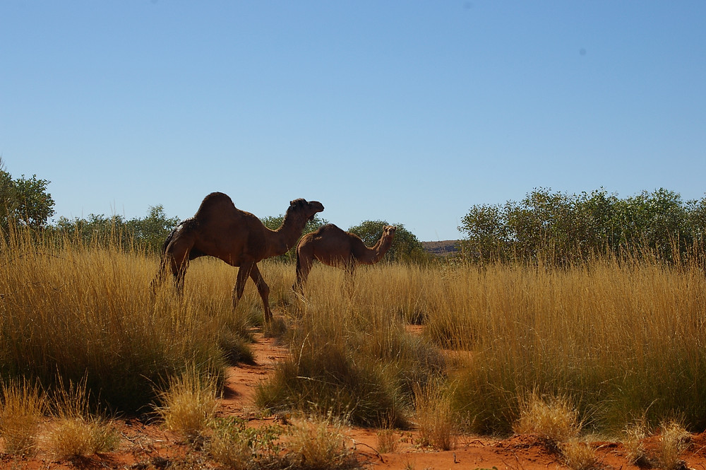 Camels on the Great Central Rd