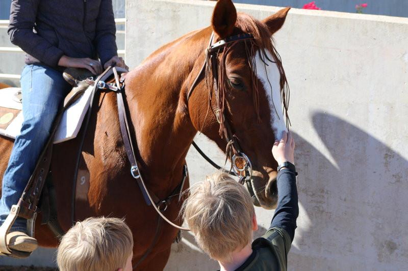 Gibson the stock horse