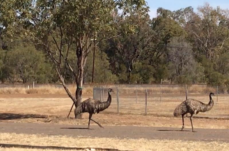 Wild Emu's roaming the streets