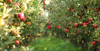 Norfolk and Suffolk Ciders