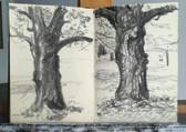 Two studies of a walnut tree in the garden  Charcoal on sketchbookpaper