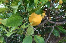 10238 Alexandria lemon tree