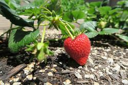 1841 Adelaide Ct, Oxnard CA 93035 Strawberry