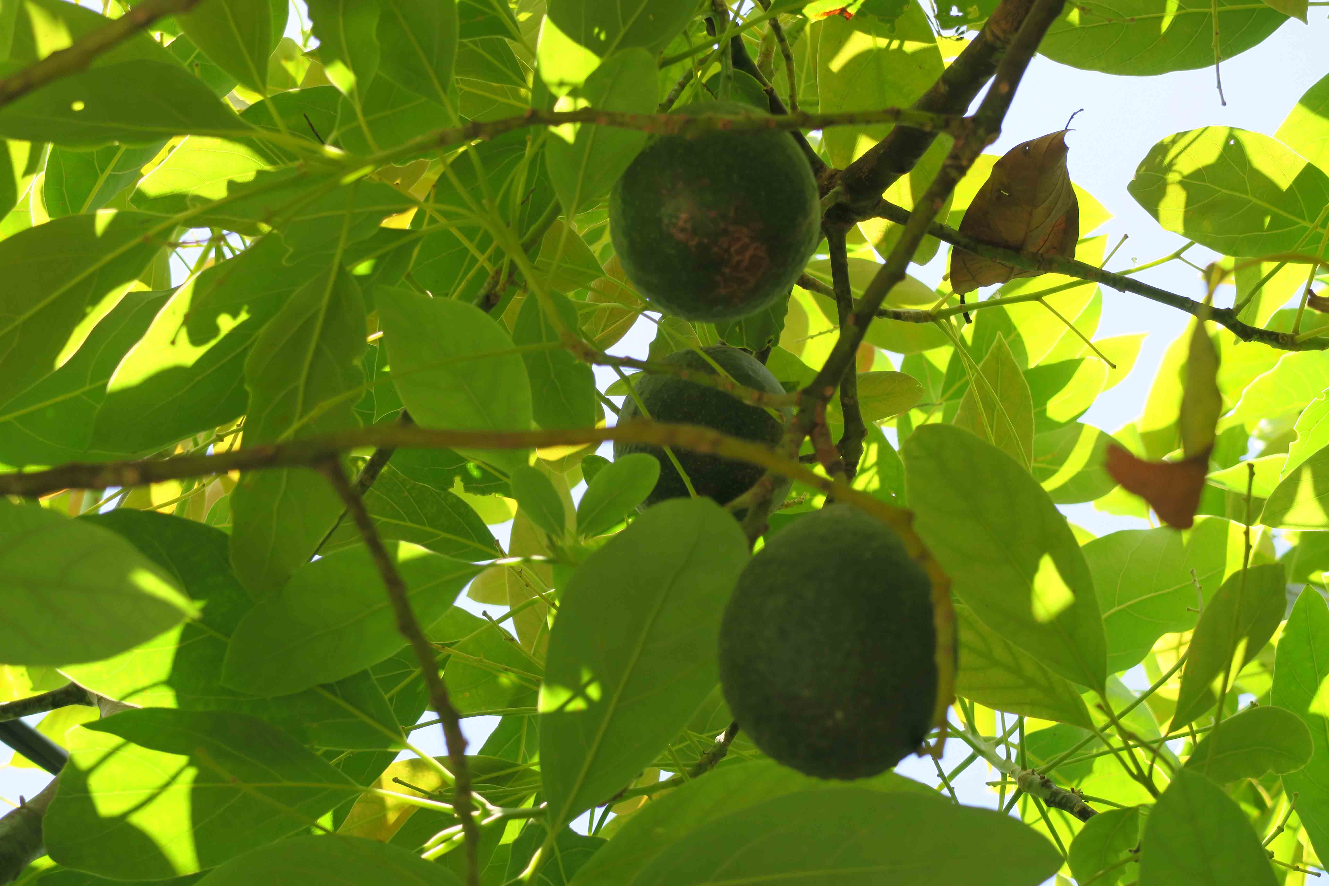 2739 Sereno - avocado tree