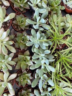 2in Succulents