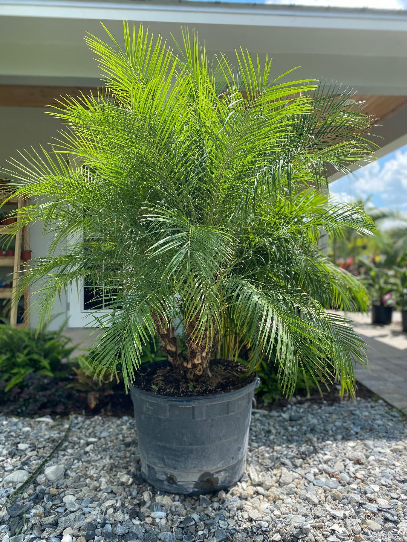 Robelini Palms