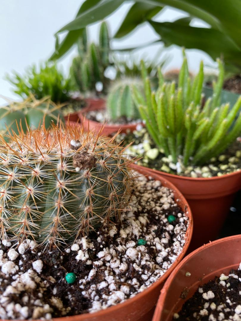 Cactus 4IN