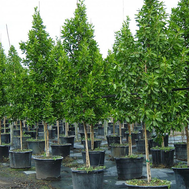 Green or Silver Buttonwood