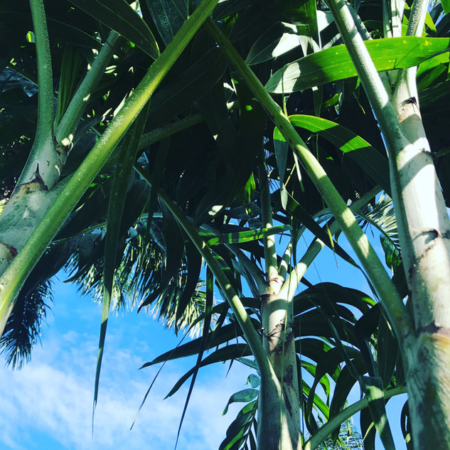 Chritmas Palm