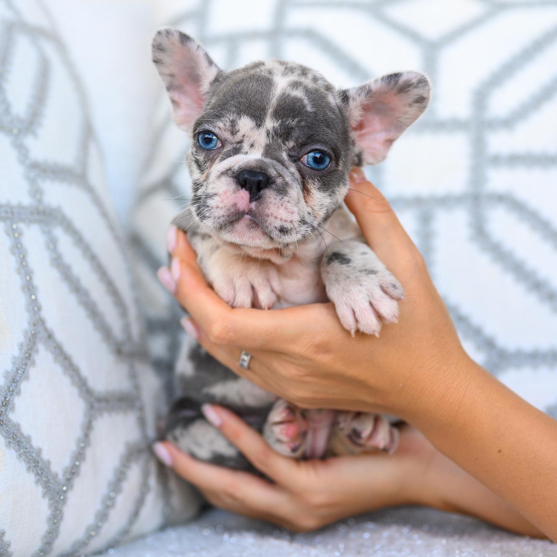 French bulldog puppies Texas