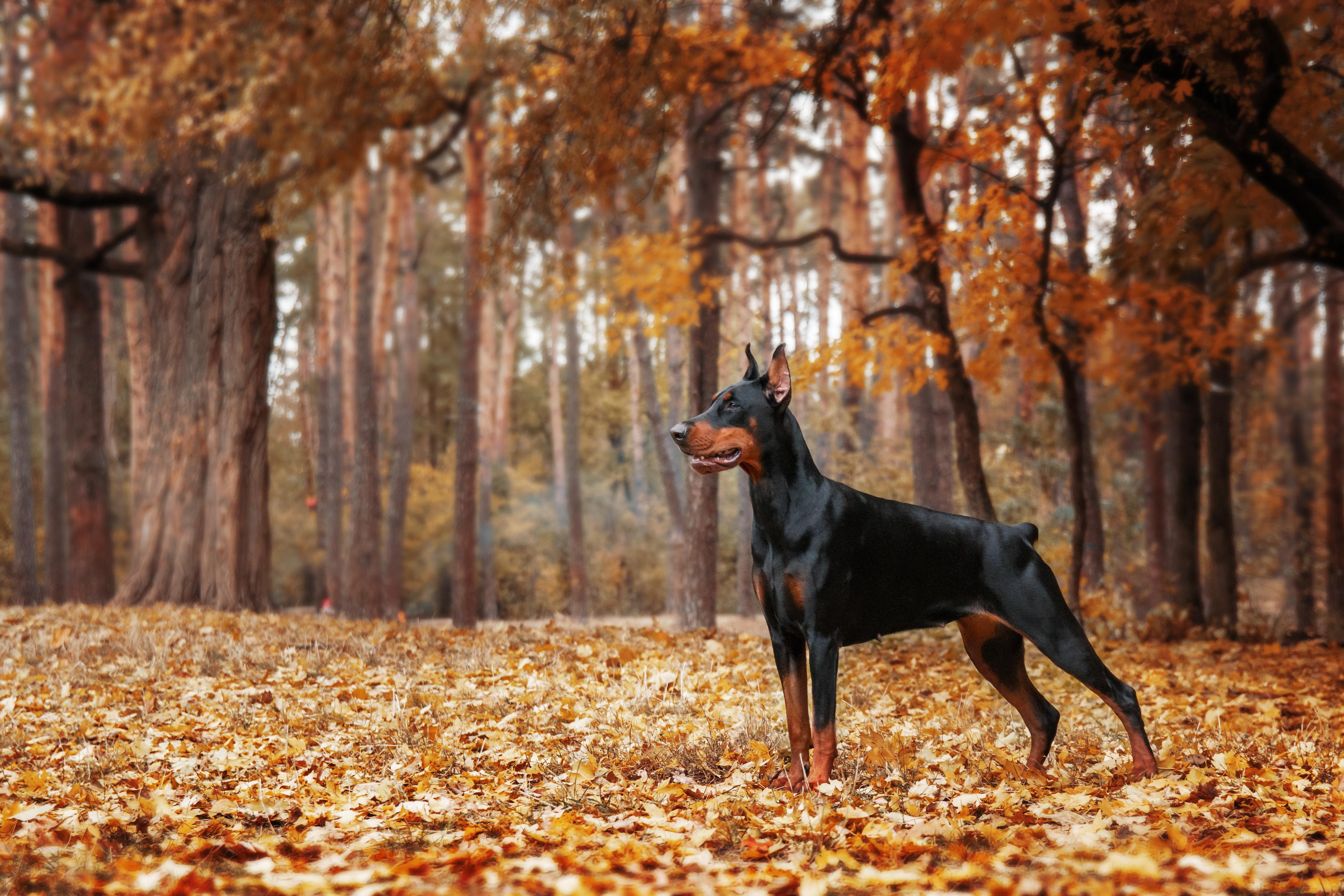 Doberman Pinscher on the background of autumn trees