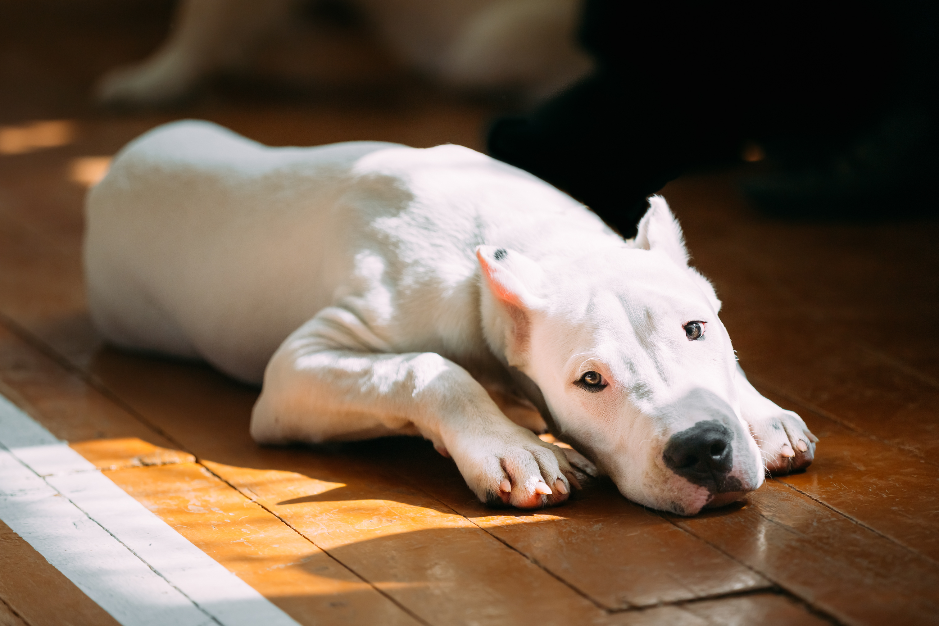 The Dogo Argentino also known as the Argentine Mastiff is a large, white, muscular dog that was deve
