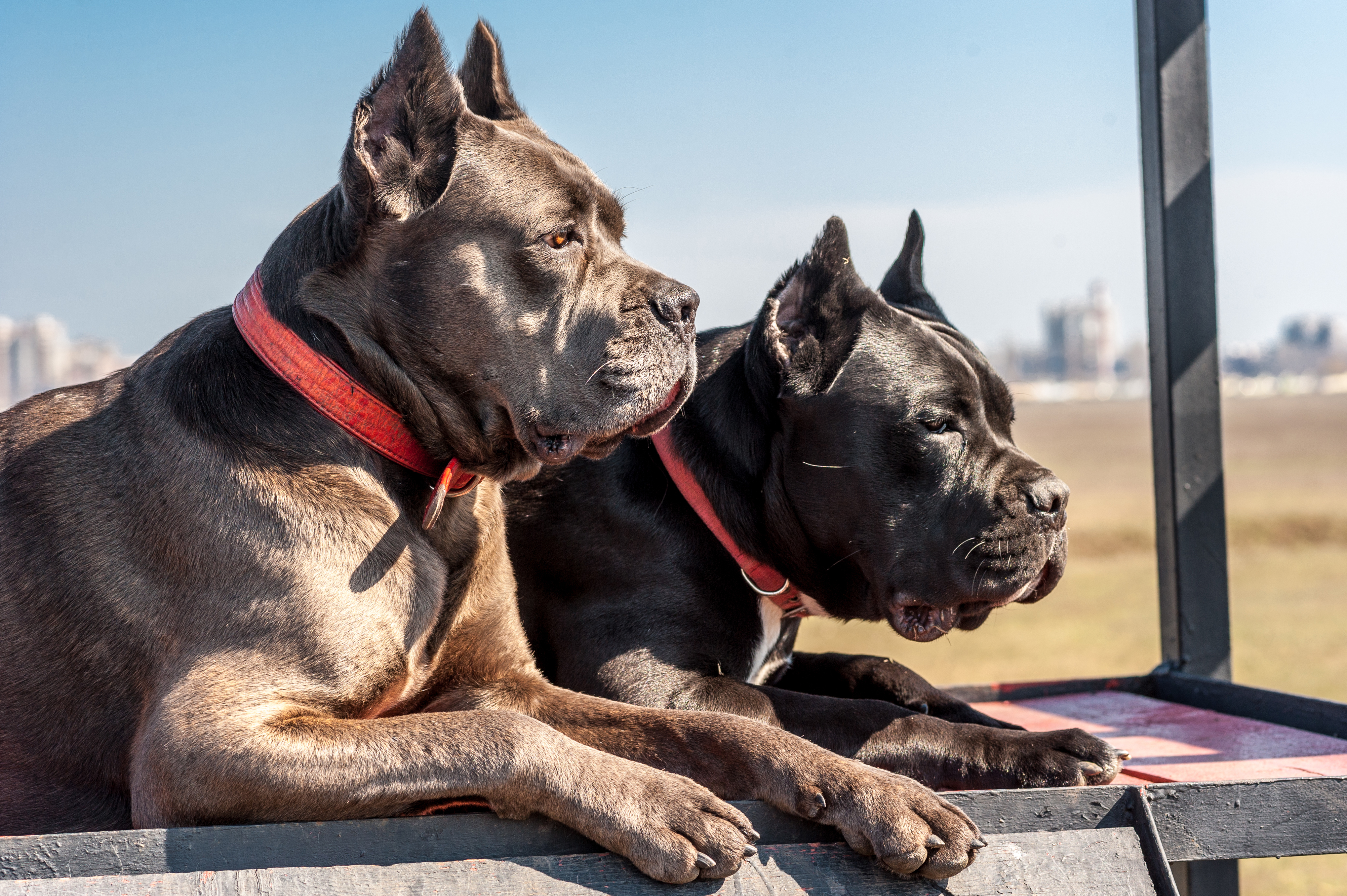 Two cane-corso dogs lie on the field for training, obedience