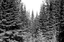 PoudreTrees