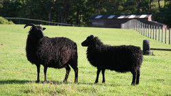 Classic Ewe & Lamb